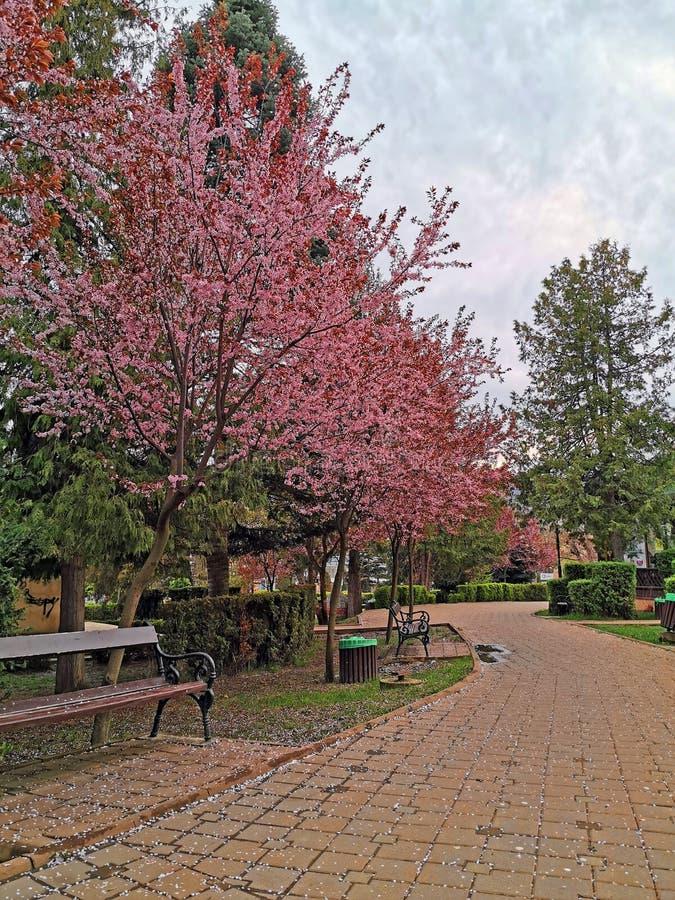Arbre de fleurs de cerisier sur l'allée de parc images libres de droits