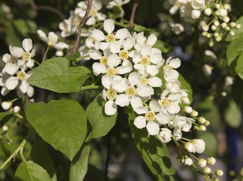 Arbre de floraison au printemps photographie stock libre de droits