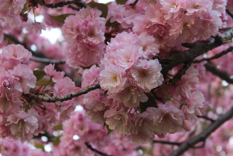 Arbre de floraison au printemps images stock