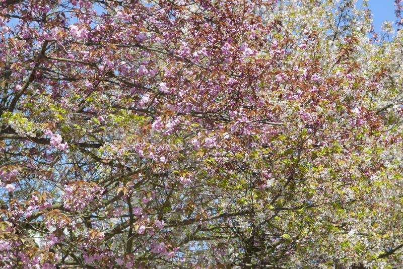 Download Arbre De Floraison Avec Des Feuilles Image stock - Image du contexte, floraison: 77157723