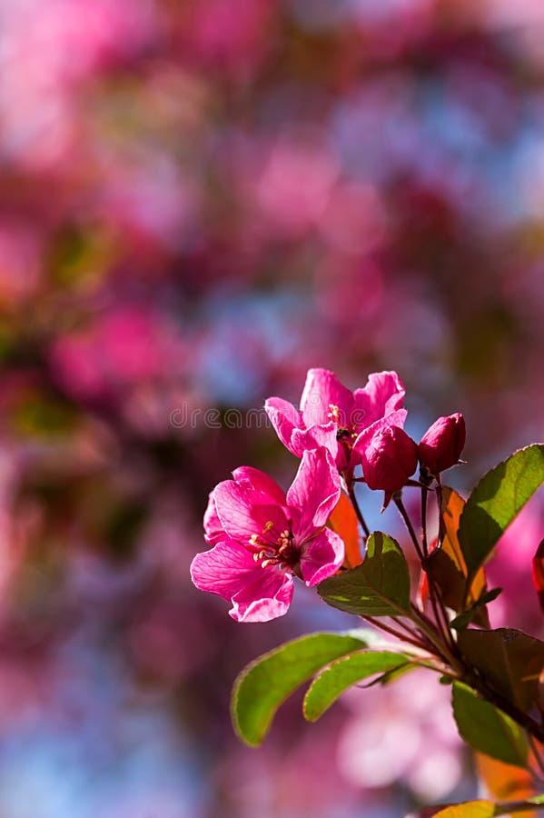 Arbre de floraison avec les fleurs roses au printemps - Fleurs roses de printemps ...