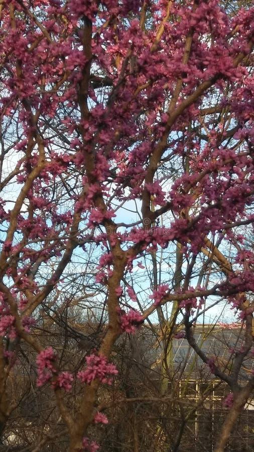 Arbre de floraison photo stock