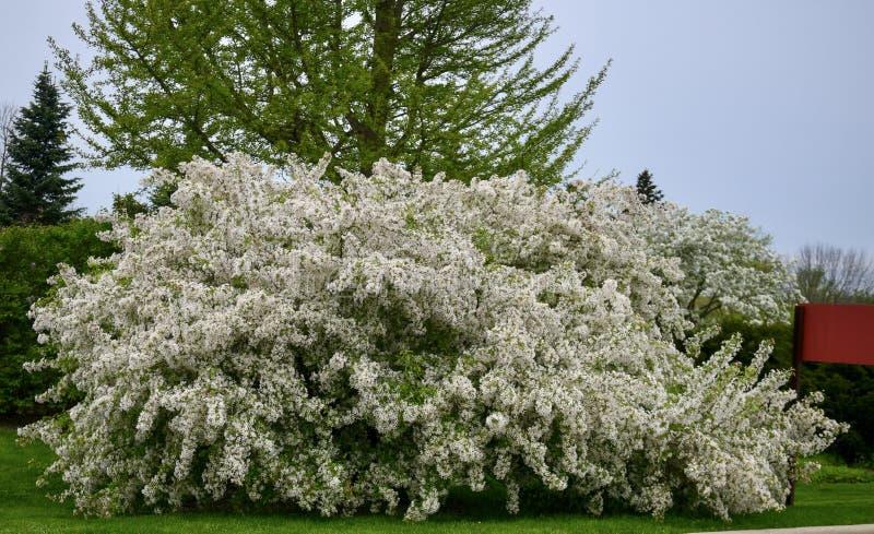 Arbre de floraison de crabapple photo libre de droits