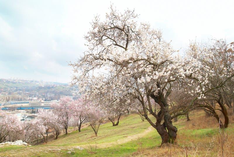 arbre de floraison d'amande image libre de droits