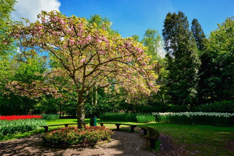 Arbre de floraison dans le jardin d'agrément de Keukenhof, Pays-Bas image libre de droits