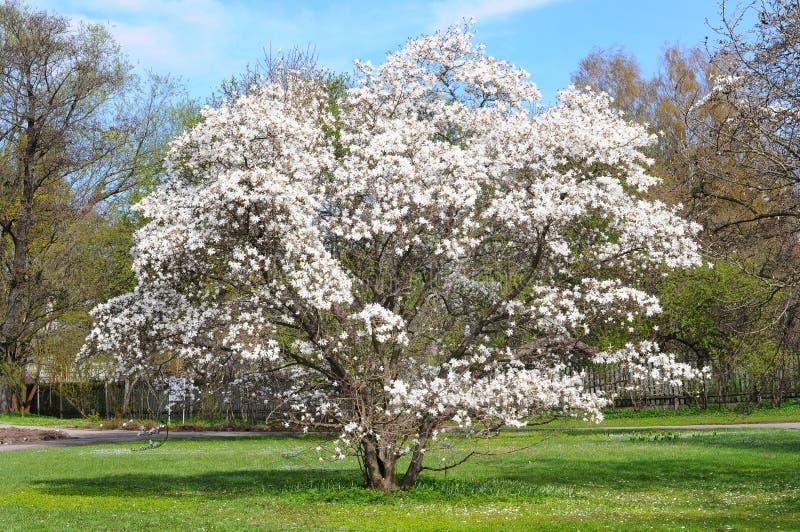 Arbre de floraison de magnolia photographie stock libre de droits