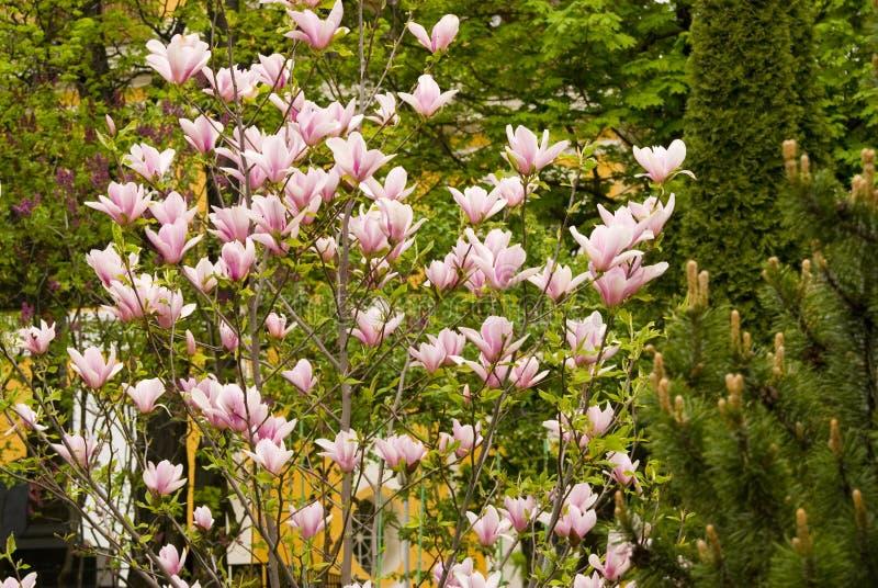 Arbre de floraison de magnolia photos stock