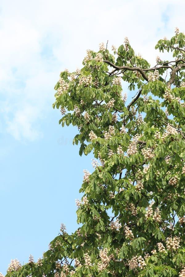 Arbre de floraison de marron d'Inde photo stock