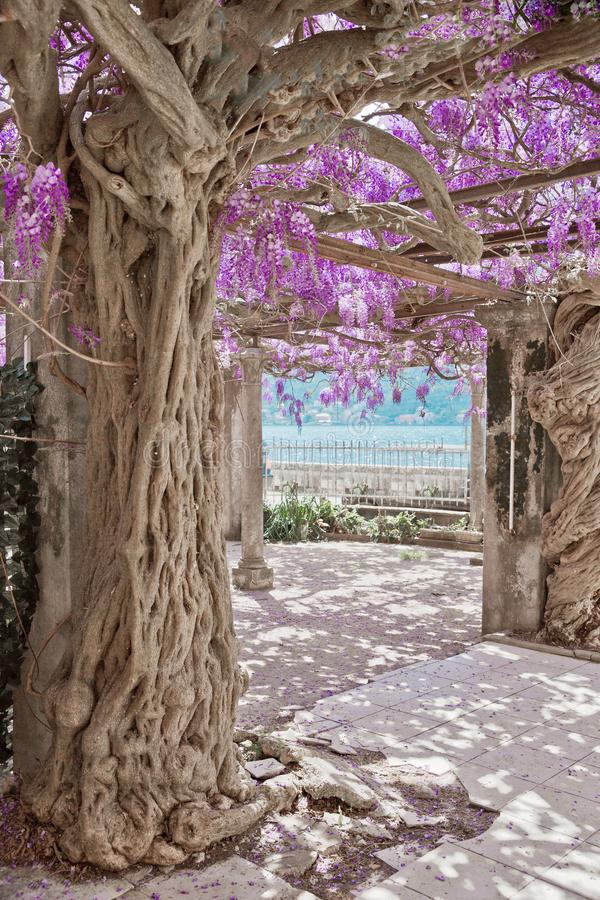 Arbre de floraison de glycine, fond pourpre de nature de voûte de fleurs O images libres de droits