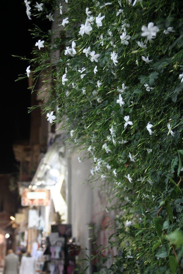 Arbre de floraison de jasmin images libres de droits