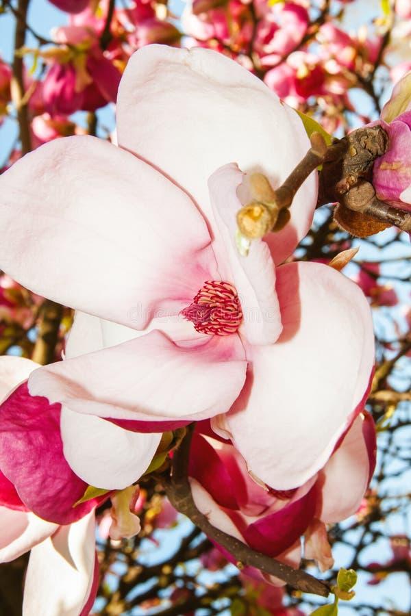 Arbre de floraison de magnolia avec de grandes fleurs roses photo stock