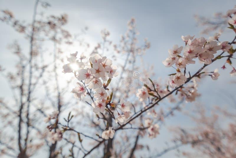 Arbre de floraison de Sakura sur un fond de ciel bleu, texture sensible de fond naturel de ressort photo libre de droits