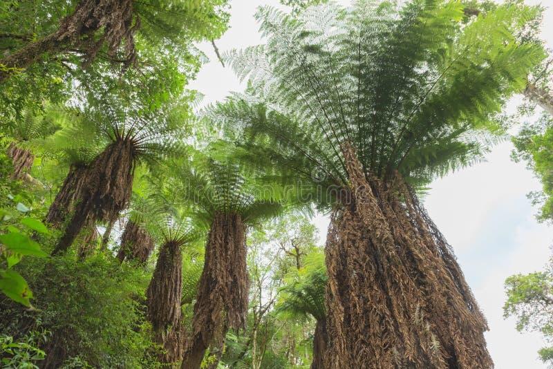 Arbre de fougère dans la forêt tropicale tropicale de jungle photographie stock libre de droits