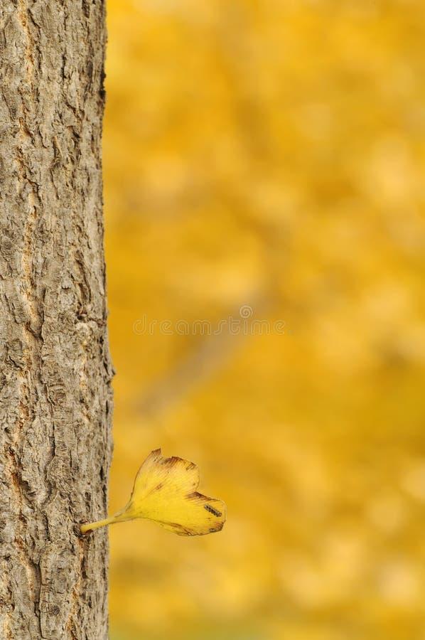 Arbre de Ginkgo en jour d'automne photographie stock libre de droits