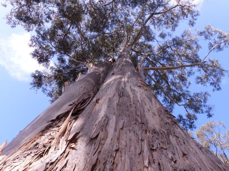 Arbre de gomme géant d'eucalyptus photos libres de droits