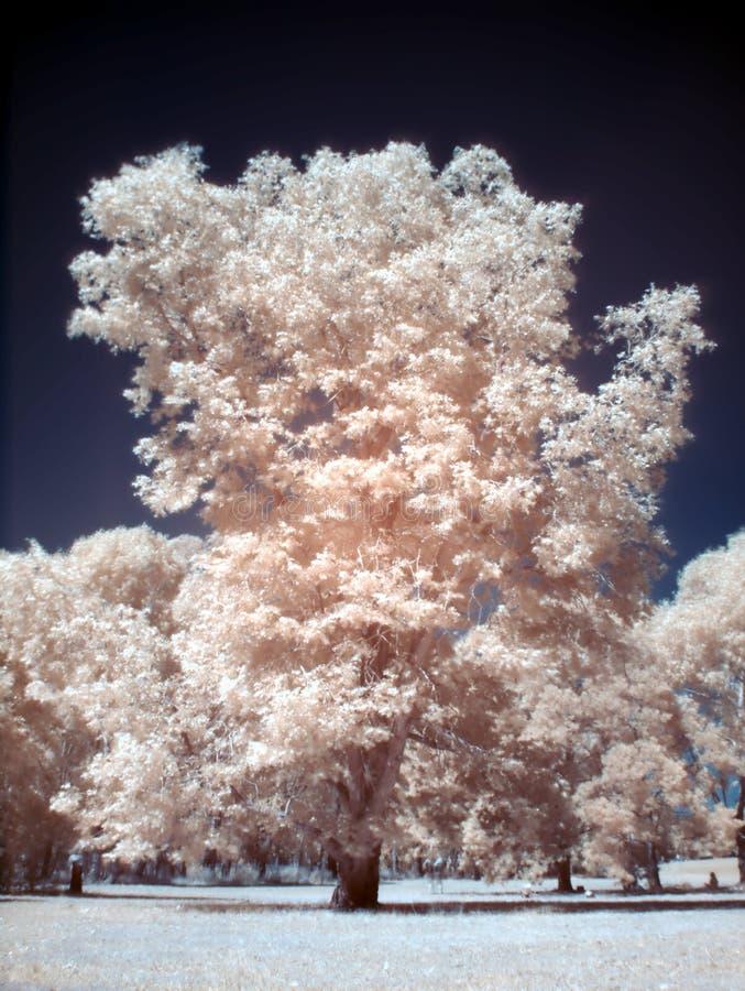Arbre de gomme infrarouge image libre de droits