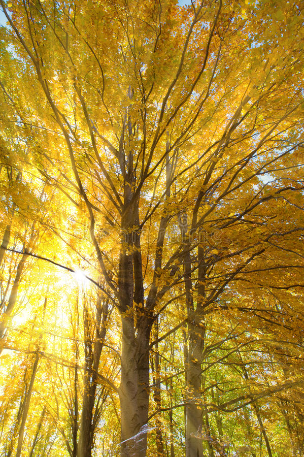 Arbre de hêtre dans les sunrays photographie stock libre de droits