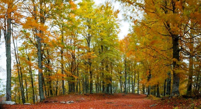 Arbre de hêtre en automne photos libres de droits