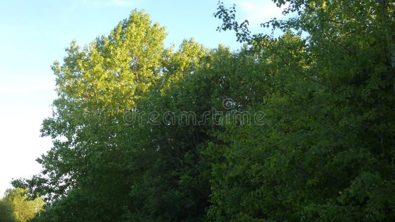 Arbre de hêtre, Phagos au coucher du soleil photos stock