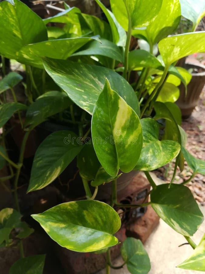 Arbre de Habarala de jardins de nature bel de Sri Lanka image stock