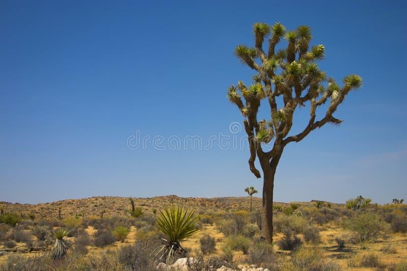 Arbre de Joshua dans le désert photo stock