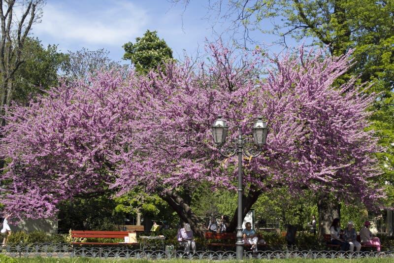 Arbre de judas dans le jardin de ville odessa images stock