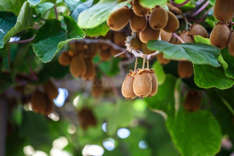 arbre de kiwi avec le fruit et les feuilles image stock. Black Bedroom Furniture Sets. Home Design Ideas