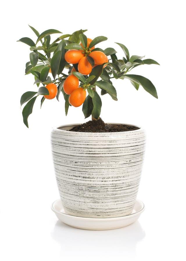 Arbre de kumquat dans le pot de fleurs photographie stock