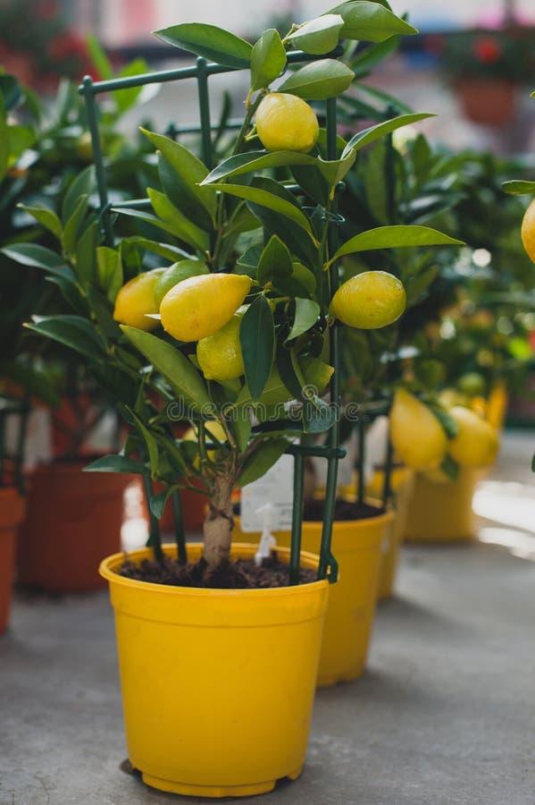 Arbre de Limequat - hybride de citrofortunella de kumquat de chaux photo libre de droits