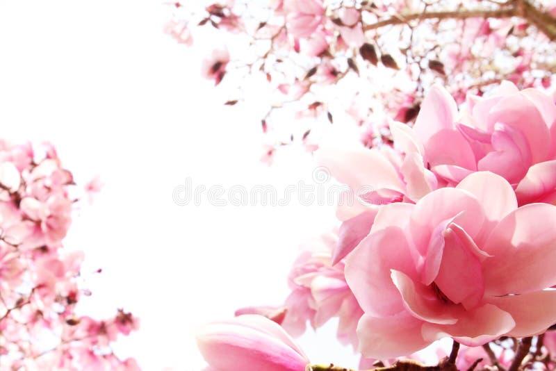 Arbre de magnolia de source en fleur image stock