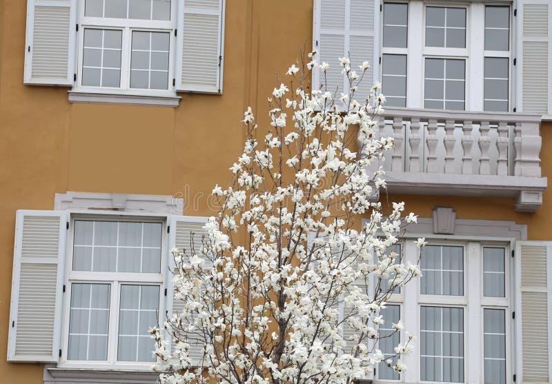 Arbre de magnolia et fenêtres blanches photo stock