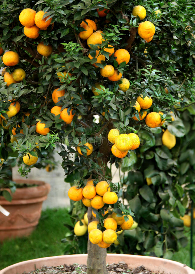 Arbre de mandarine de citron dans le bac photo libre de droits