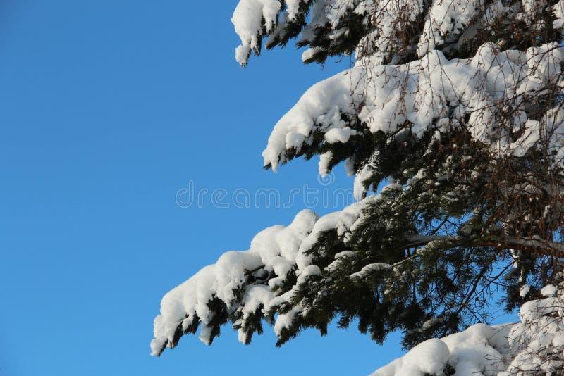 Arbre de Milou contre un ciel bleu photo stock
