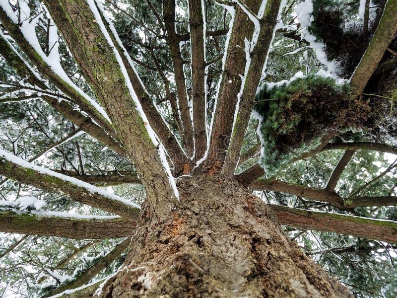 Arbre de Milou en hiver photographie stock libre de droits
