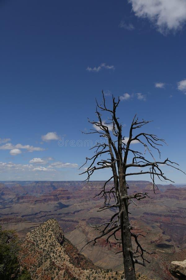 Arbre de mort en canyon grand, Etats-Unis images stock