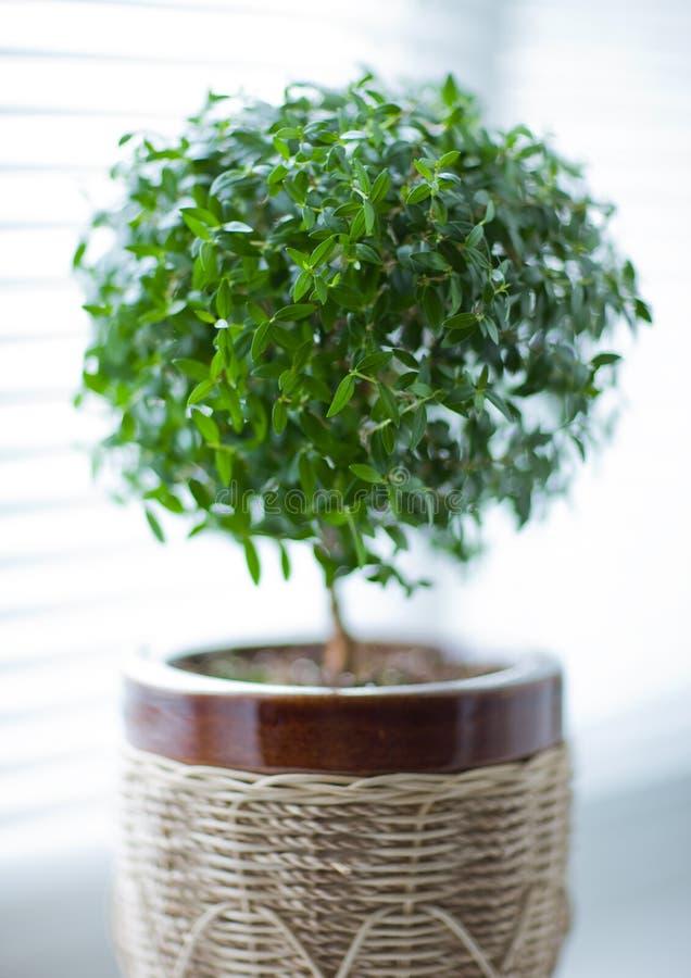 arbre de myrte photographie stock
