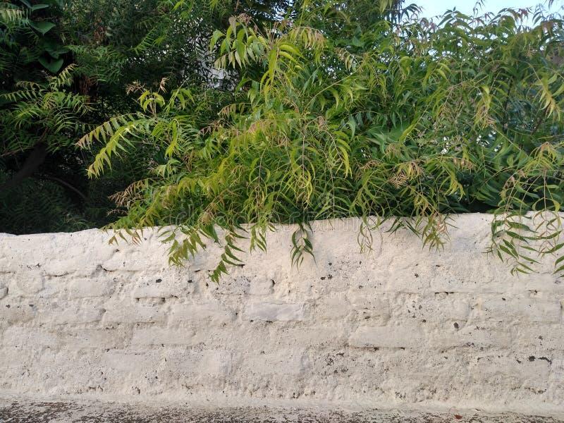 Arbre de Neem et vieux mur de construction photo stock