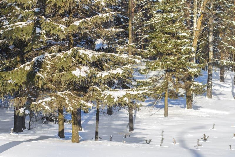 Arbre de Noël de Milou dans la scène naturelle de forêt d'hiver de la nature froide Beau jour dans la forêt givrée photos stock