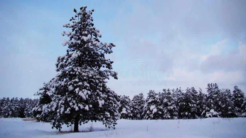 Arbre de Noël| Neige dans la forêt de l'Europe images libres de droits