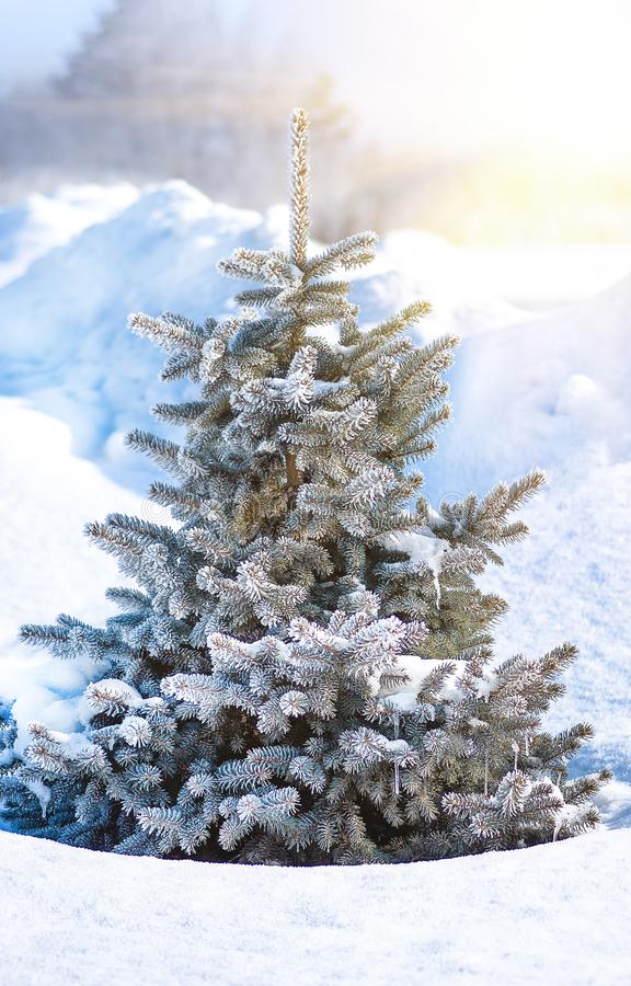 Arbre de No?l, arbre de sapin dans la neige et gel?e, fin, fond de No?l photos libres de droits