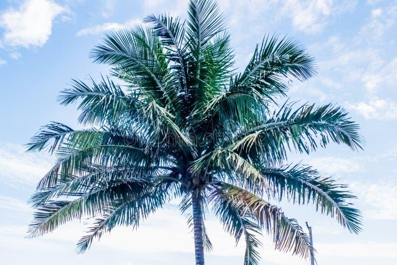 Arbre de noix de coco avec des noix de coco, Brazol photos stock