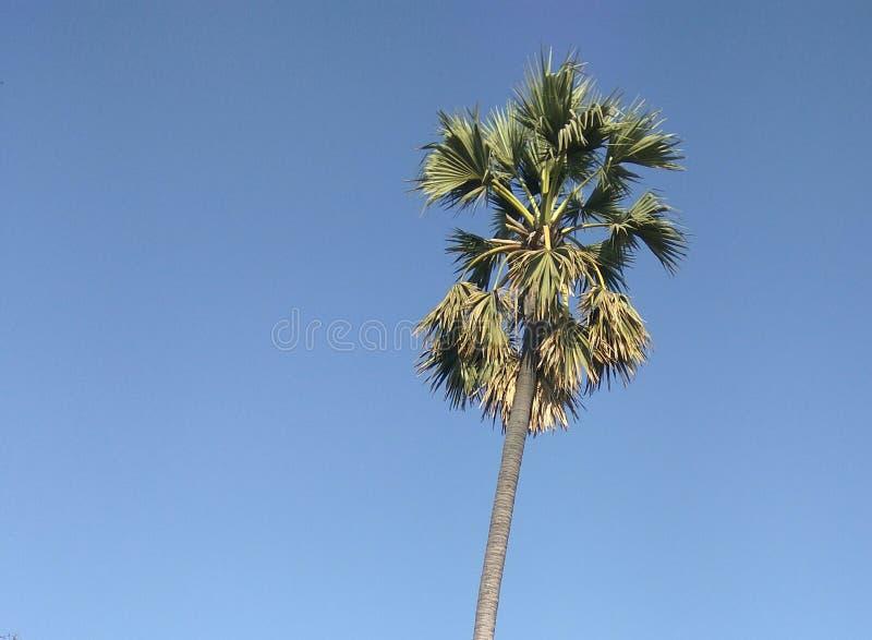 Arbre de noix de coco avec le fond de ciel bleu photos libres de droits