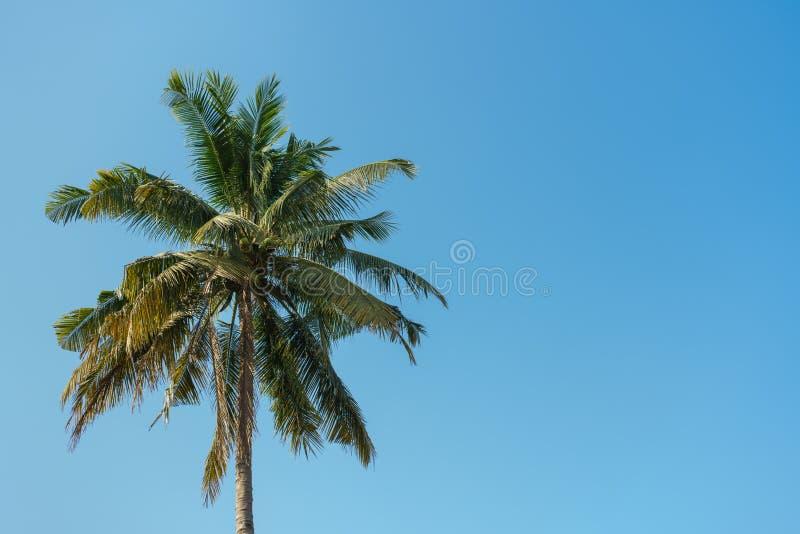 Arbre de noix de coco avec le fond de ciel bleu photographie stock libre de droits