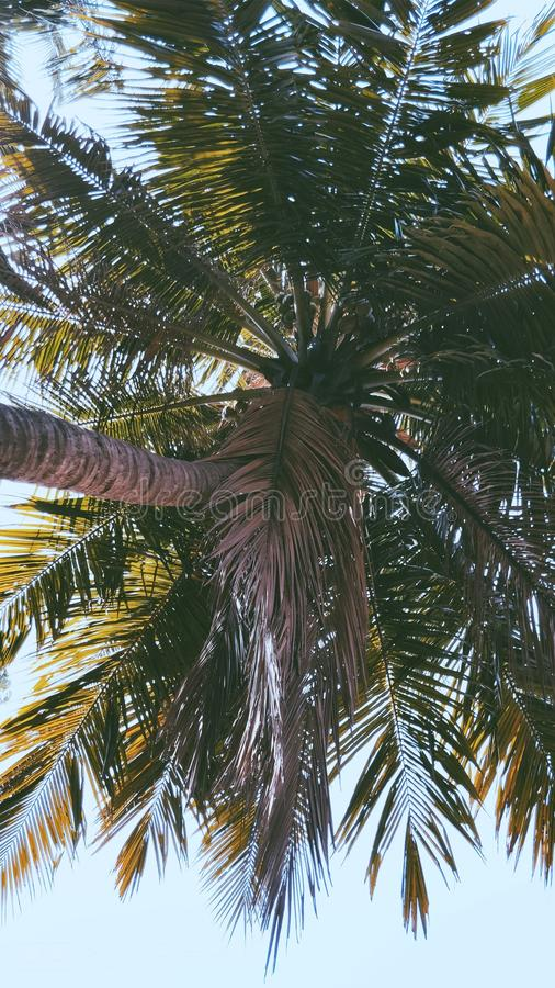 Arbre de noix de coco d'arbre photo stock