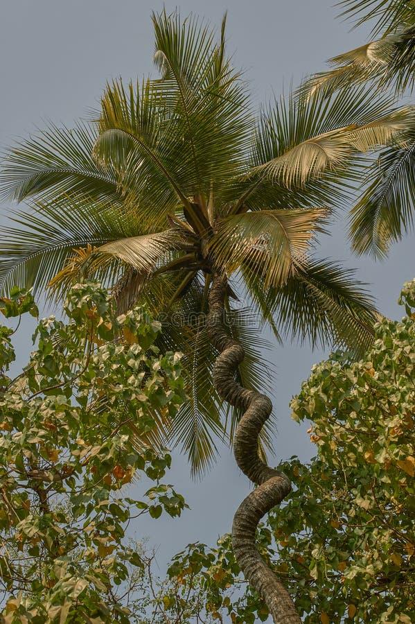 Arbre de noix de coco vissé par liège Nalasopara près de maharashtra INDE de Mumbai photos stock