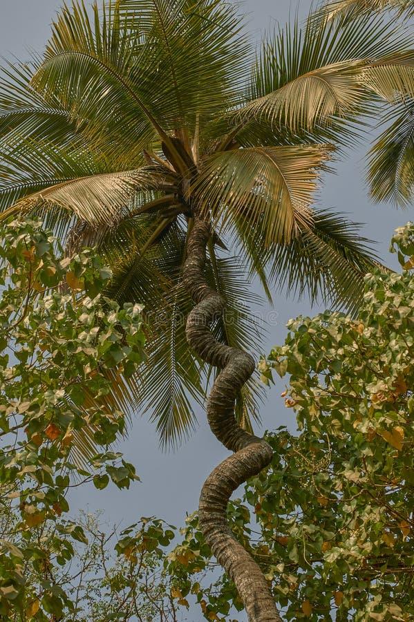 Arbre de noix de coco vissé par liège Nalasopara près de maharashtra de Mumbai photos stock