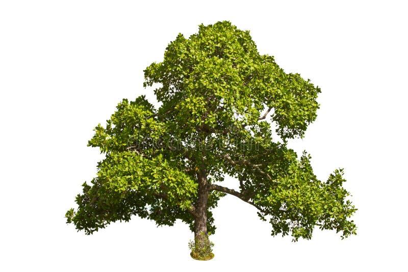 Arbre de noix de cajou (occidentale L. d'Anacardium). image stock