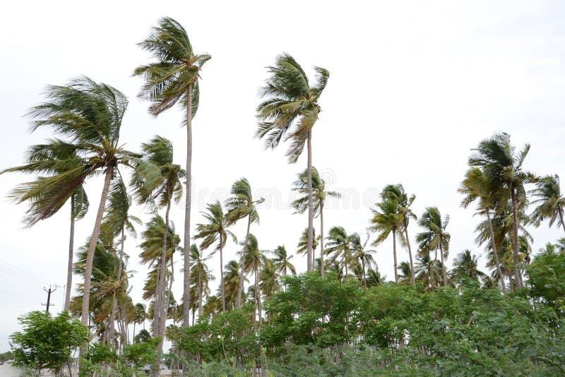 Arbre de noix de coco photo stock