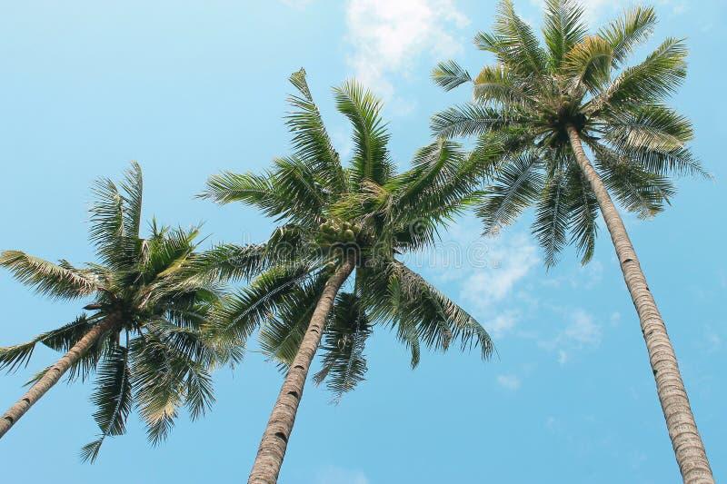 Arbre de noix de coco photo stock image du arbre sunrise 64242268 - Arbre noix de coco ...