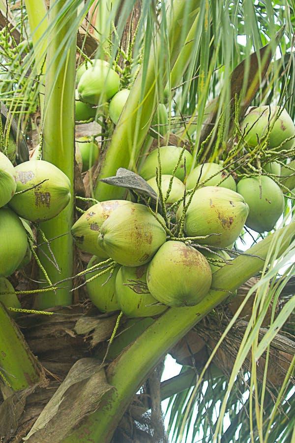 Arbre de noix de coco photos stock